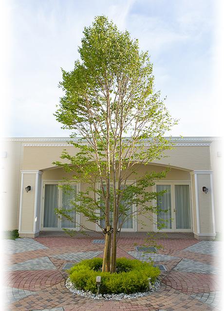 中庭のシンボルツリー、ヒメシャラ